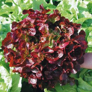 Salade Laitue Feuille de Chêne Rouge BIO