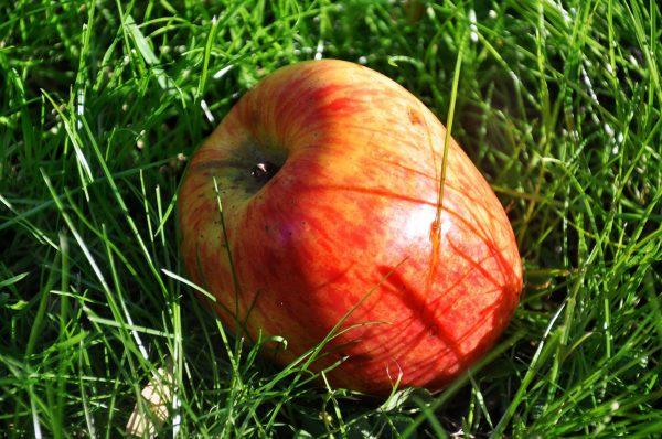 Pomme ARLET Bio (1kg)