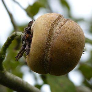 Pomme Patte de Loup (1kg)
