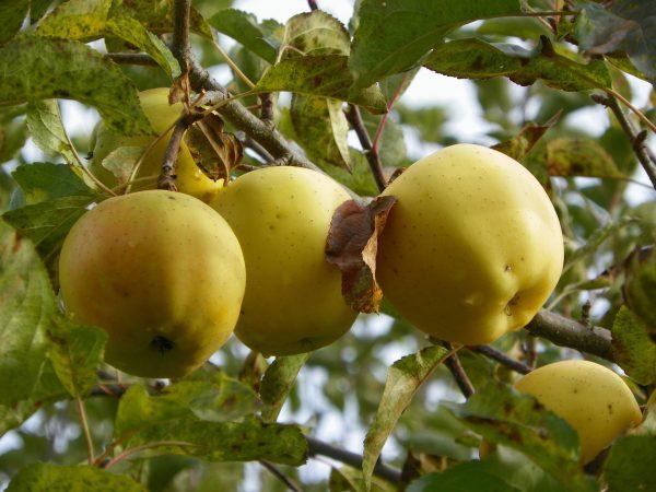 Pomme Belchard (1kg)